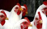کشف ۷ تن مرغ زنده قاچاق در چرداول
