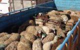۹۳راس احشام قاچاق در دهلران کشف شد