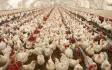 مرغداران خواستار اصلاح فوری قیمت مصوب مرغ شدند