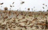 مبارزه با ملخهای صحرایی در سطح۴۵۰ هکتار از اراضی ایلام