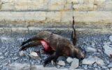 متخلفین شکار غیر مجاز گراز در چوار دستگیر شدند
