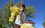 آغاز برداشت انگور از باغات بدره