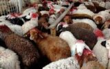 وزارت جهاد کشاورزی با صادرات دام زنده غیرمولد موافقت کرد