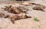 تلف شدن ۲۳ راس گوسفند بر اثر تصادف در مهران