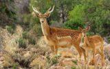 ۴۵ راس گوزن زرد ایرانی در سایت تکثیر و پرورش ایلام زیست میکنند