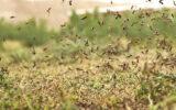 آغاز مبارزه با ملخهای صحرایی در ایلام