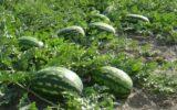 کشت هندوانه در ایلام ممنوع شد
