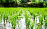 ممنوعیت کشت برنج در شهرستان چرداول